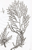 Flora in Russland - Queller - Salicornia Foliata