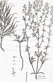 Flora in Russland - Polycnemum Oppositi Folium - Salicornia Caspica - Queller