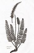 Flora in Russland - Astragalus Spicatus