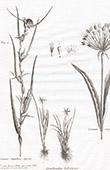Flora in Russia - Ornithogalum Bulbiferum - Crinum Caspicum - Graminis Singularis Species