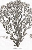 Flora in Russland - Serratula Caspia