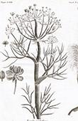 Flora in Russland - Ferula Nodiflora