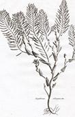 Flora in Russland - Sisymbrium Salsuginosum
