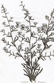 Flora in Russland - Comoboulus Fruticosus