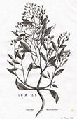 Flora in Russland - Onosma Micranthos