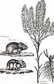 Flora in Russland - Lepidium Ceratocarpon - Nagetiere - Spitzm�use - Mus Arenarius - Sungorus
