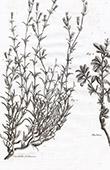 Flora in Russland - Cucubalus Fruticosus - Berberis Sibirica