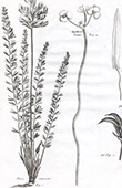 Flora in Russland - Phaca Muricata - Sagittaria Natans