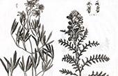Flora in Russland - Clematis Hexapetala - Pedicularis Flava