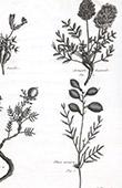 Flora in Russland - Phaca Arenaria