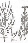 Flora in Russland - Astragalus Melilotoides - Trifolium Citisoides - Pedicularis Striata