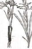 Flora in Russland - Iris Ventricosa - Iris Halophila