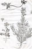 Flora in Russland - Dryas Anemonoides - Pedicularis Myriophylla - Astragalus Ampullatus