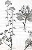 Flora in Russland - Sedum Populifolium - Rhododendron Chrysanthum