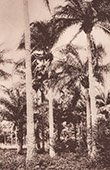 Palm nuts Gathering (C�te d'Ivoire - West Africa)