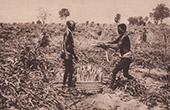 Crop of Cassava (Africa)
