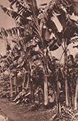 Banana Trees - Les Bananiers (Africa)