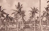Kokospalm (Nya Hebriderna - Vanuatu)