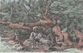 Kaktus in Dschenin - Djenin - Shisha (Pal�stina)