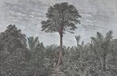 Sialang i Sumatra (Indonesien)