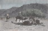 Akazien - Region Tibesti - Sahara (Tschad)