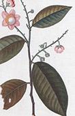 Botany - Plant - Couratari - Couratari guianensis - Lecythidaceae