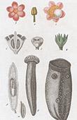 Botany - Plant - Couratari - Lecythidaceae