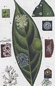 Botany - Plant - Plant diseases - Leaf Fungi - Circinaria Epiphylla - Phyllocharis Complanata - Echinoplaca - Porina americana - Caenogonium Link