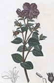 Botany - Plant - Rhexia Muricata - Melastomaceae