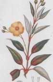 Botany - Plant - Laurel-leaved Cistus - Cistus Laurifolius - Cistaceae