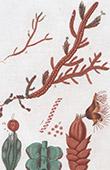 Botany - Plant - Jungermannia Tamarisci - Hepaticae