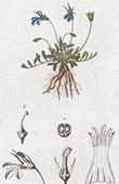 Botany - Plant - Lobelia nana - Campanulaceae