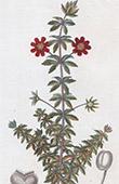 Botany - Plant - Bauera - Rubiae folia - Madder - Cunoniaceae