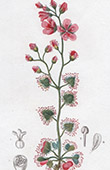 Botany - Plant - Drosera peltata - Shield sundew - Droseraceae