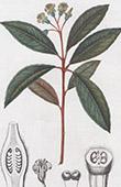 Botany - Plant - Pittosporum undulatum - Pittosporaceae