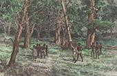 Ekorrejakt - Flygekorrar - Queenslands (Australien)