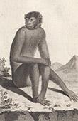 Monkey - Magot - Barbary macaque - Cercopithecidae - Mammals - Primates