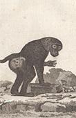 Monkey - Papio - Baboon - Mammals - Primates