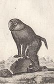 Macaco - Papion - Babu�no - Mam�feros - Primatas