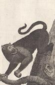 Black Monkey - Macaque - Cercopithecidae - Mammals - Primates