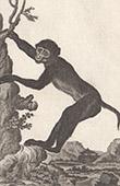 Monkey - Barbary macaque - Mammals - Primates