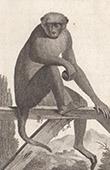 Monkey - Macaque Rhesus - Bandar - Cercopithecidae - Mammals - Primates