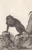 Monkey - Macaque - Aigrette - Mammals - Primates - Ceylon - Sri Lanka