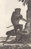 Monkey - Macaque - Macaca radiata - Cercopithecidae - Mammals - Primates