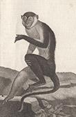 Monkey -  Mangabey - Cercocebus torquatus - Cercopithecidae - Mammals - Primates
