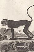 Monkey - Mona monkey - Cercopithecidae - Coaita - Sapajou - Mammals - Primates