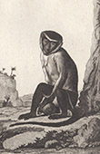 Monkey - Roloway monkey - Cercopithecidae - Mammals - Primates