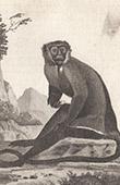 Monkey - Diana monkey - Cercopithecidae - Mammals - Primates