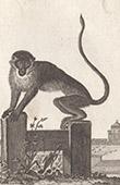 Monkey - Chlorocebus - Patas monkey - Cercopithecidae - Mammals - Primates
