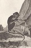 Monkey - Angolan talapoin - Miopithecus talapoin - Cercopithecidae - Mammals - Primates